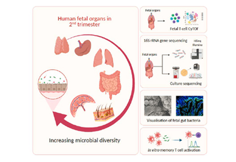 Early encounter of microbes and fetal immune system during second trimester of gestation